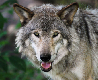 Endangered grey wolf of Yellowstone National Park